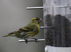 siskin_strandside_26012013_dc_img_4152_medium.jpg