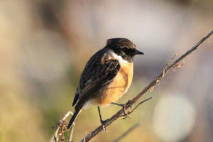 stonechat_ferrypt_23122009_img_2481_small.jpg