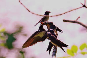 swallows_02082013_foc_img_0088.jpg