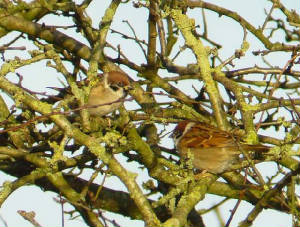 treesparrows_nrardmore_20jan2007.jpg