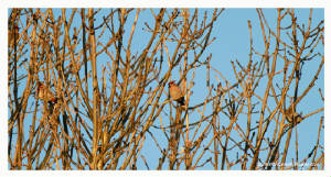 waxwing_ballynacourty_27112012_rz_mg_8623.jpg