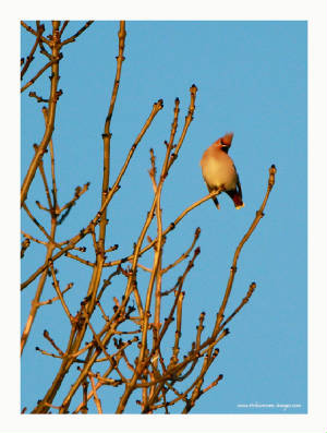 waxwing_ballynacourty_27112012_rz_mg_8656.jpg
