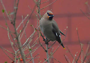 waxwing_waterfordcity_12022009_040.jpg