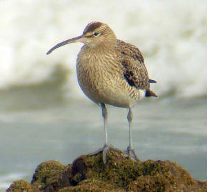 whimbrel_ballinard_27dec2006.jpg