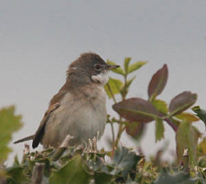 whitethroat_ballyvoyle_04052012_dc_img_5528_medium.jpg