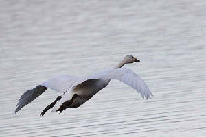 whooper_blackwater_21022010_img_4295_small.jpg