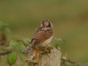wryneck_brownstown_4sept05_1.jpg