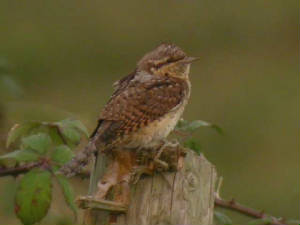 wryneck_brownstown_4sept05_5.jpg