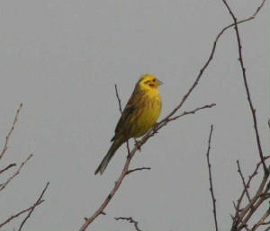 yellowhammer_kilbride_20feb2007.jpg