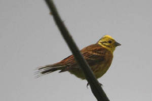 yellowhammer_mahonbridge_06072009_img_4922_small.jpg