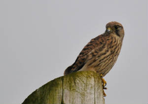 youngkestrel_6a_carrignagour_26062012.jpg