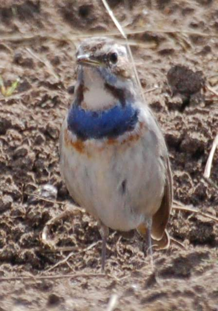 bluethroat_tramore_21apr2008.jpg