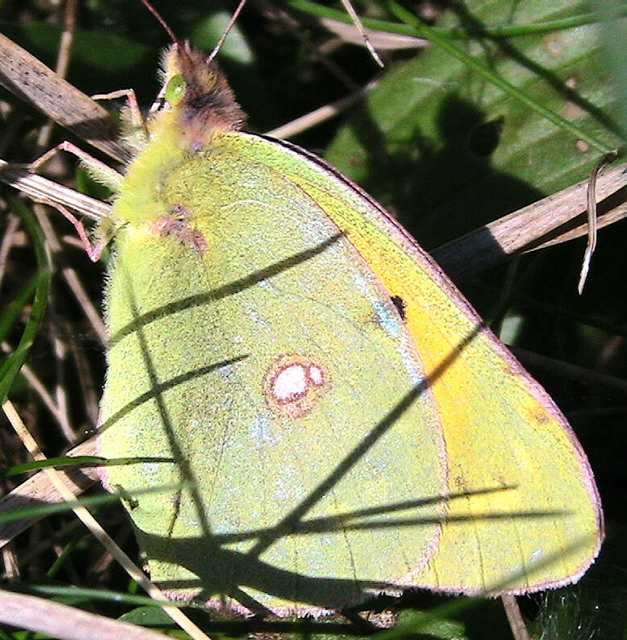clouded_yellow3_ramhd_24oct2006.jpg