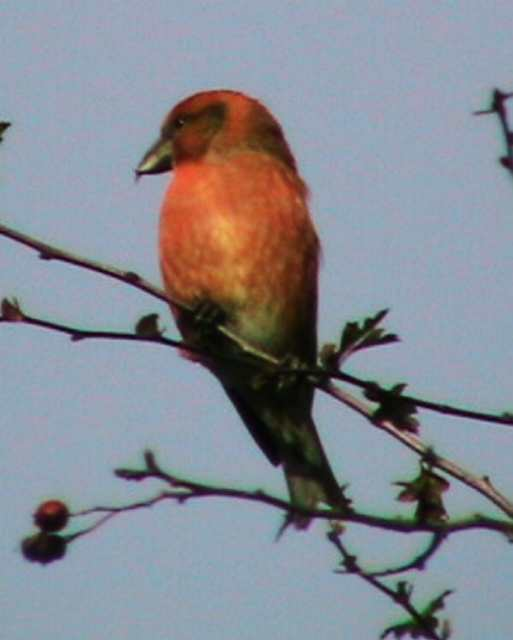 crossbill_lismore_oct2005.jpg