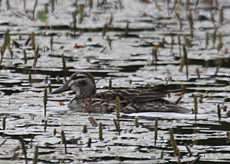 garganey_female_knockaderry_07062012_dc.jpeg