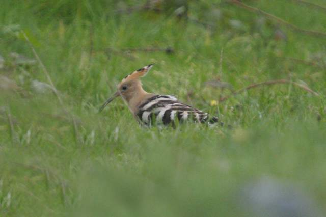 hoopoe_cunnigar_23sep2006_mg_1774s.jpg