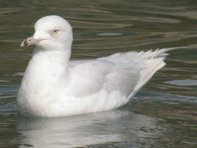 icelandgull_3rdwinter_boatstrand_1apr2006_5.jpg