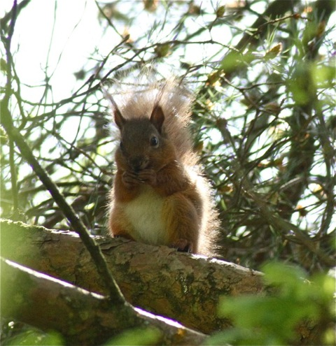 redsquirrel_ci_052012_img_7876.jpeg