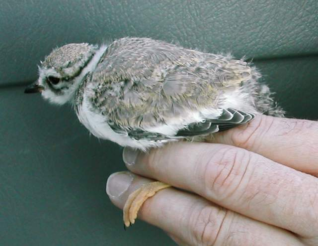 ringedplover_chick_2_clonea_25july2004.jpg
