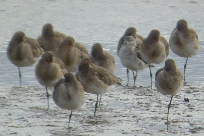 ruff_blackwits_tramore_08112014_mc_snv30861.jpg